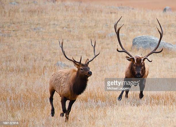 wild elk - wapiti foto e immagini stock