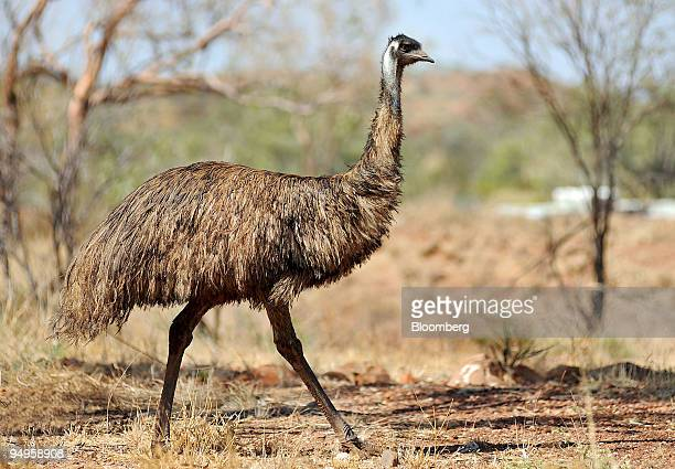 A wild emu a symbol on the Australian coat of arms is seen at the site of the Mount Dore molybdenite deposit in Ivanhoe Australia Ltd's Cloncurry...