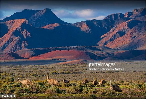 Wild emus feeding on the outback plains of the Flinders Ranges in South Australia.