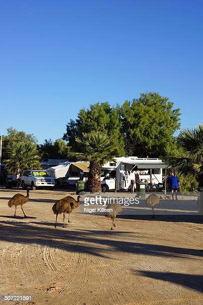 Wild Emus wandering around Campsite Monkey Mia Western Australia