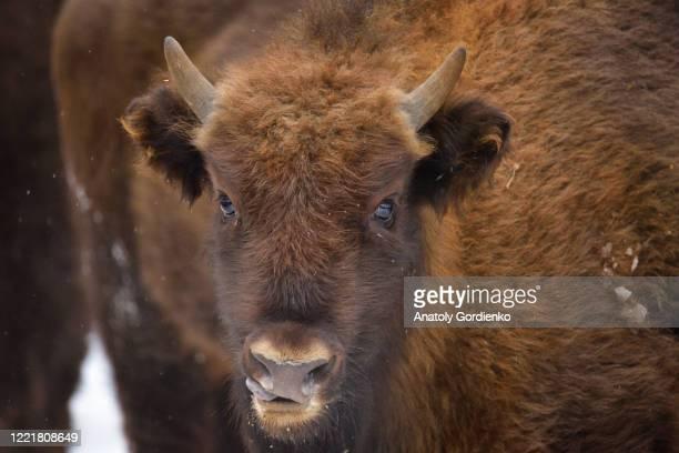 wild european bison - nature reserve stock-fotos und bilder