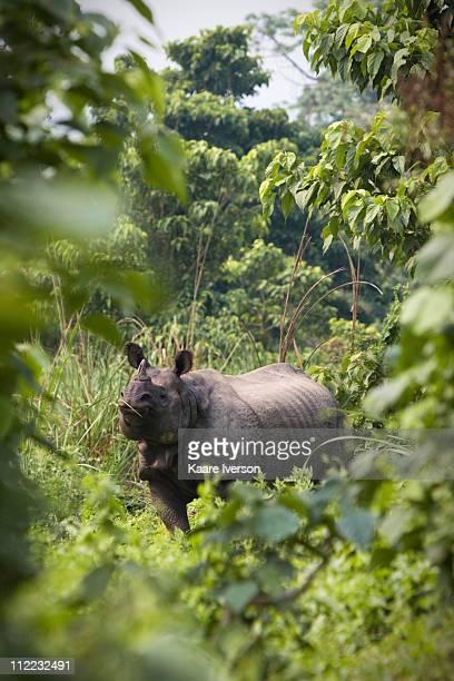 A wild, female rhinoceros in Chitwan National Park.