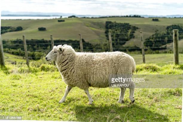 wild field with sheep and milk cow - schaf stock-fotos und bilder
