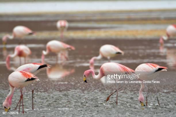 Wild flamingos at Bolivian desert