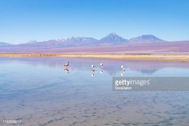 wild flamingos en laguna chaxa park-san pedro de atacama, región de antofagasta, chile - laguna fotografías e imágenes de stock