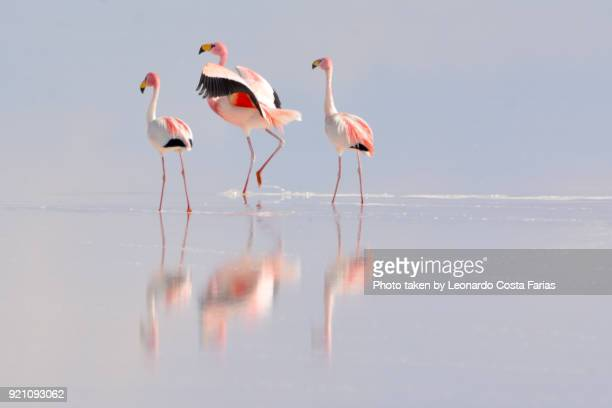 wild flamingos at salar de uyuni - flamingo stock pictures, royalty-free photos & images