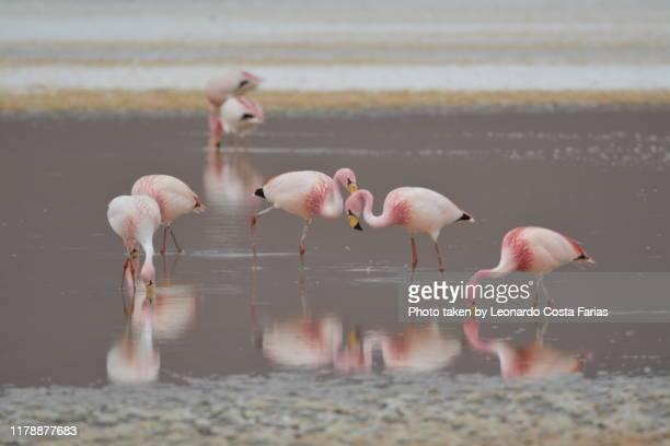 wild flamingos - leonardo costa farias stock photos and pictures