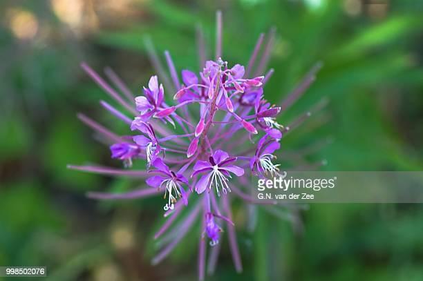 Wild Flora:  Chamaenerion