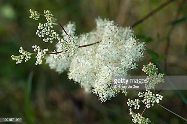 Wild Flora:  Filipendula Ulmaria