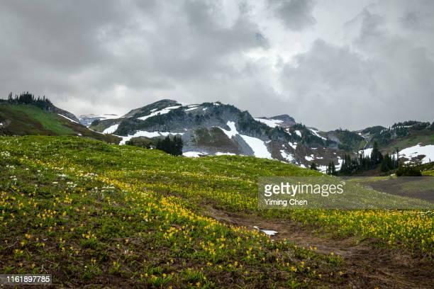 wild flower meadow of mount rainier national park - pinnacle peak bildbanksfoton och bilder