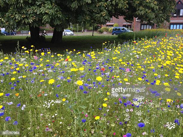 Wild flower meadow on a roundabout in Horsham