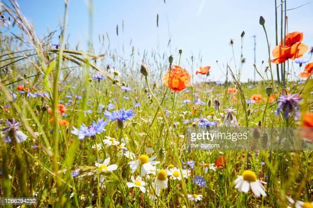 wild flower meadow with chamomile flowers, poppies and cornflowers against blue sky in summer - wiese stock-fotos und bilder