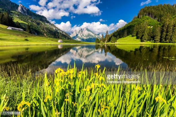 wild flower on the shore of alpine lakes.  canton of san gallo, toggemburg, alt sankt johann, switzerland. - naturwunder stock-fotos und bilder