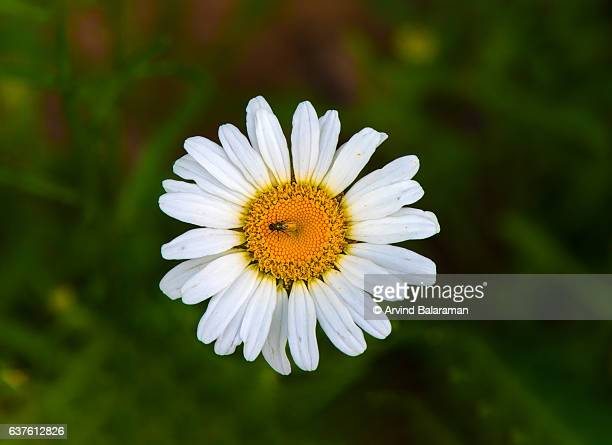wild flower - chamomile tea stock photos and pictures