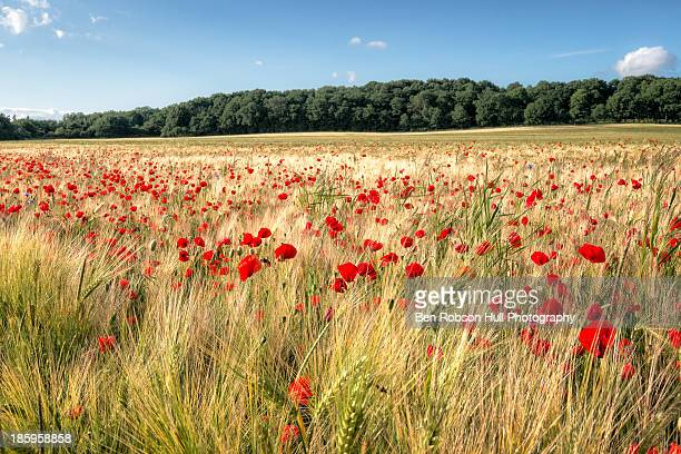 Wild Flower Poppy Field Red Landscape Field Summer
