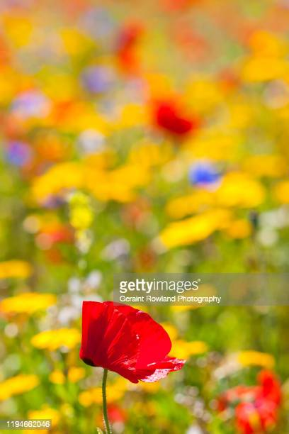 wild flower screensaver - memorial day background stock pictures, royalty-free photos & images