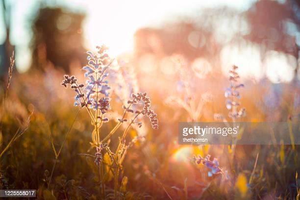 wild flowers against sunset, germany - frühling stock-fotos und bilder