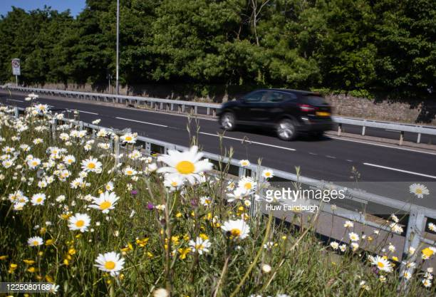 Wild flowers are seen on a verge which has been allowed to flourish since the start of the lockdown on May 15, 2020 in Newport, Wales, United...