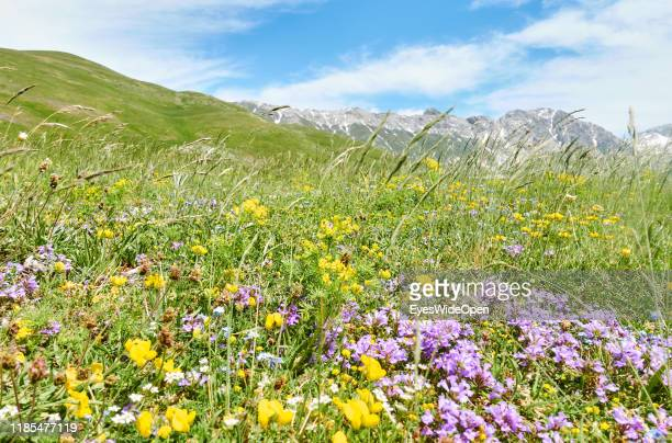 Wild flowers at a meadow in the mountains on June 12, 2019 in Gran Sasso d'Italia, Italy.