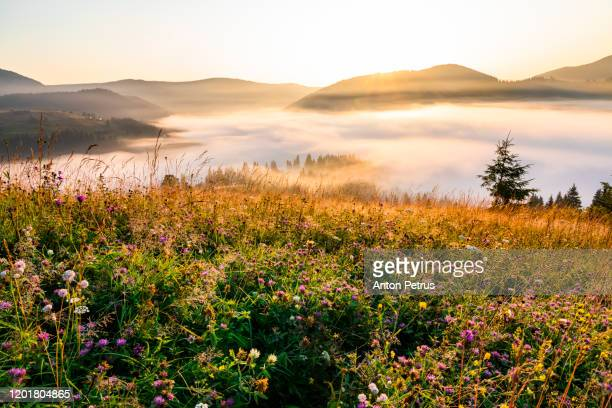 wild flowers at sunrise on a background of foggy mountains - frühling stock-fotos und bilder