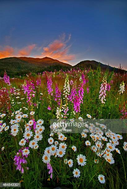 Wild flowers at sunset #1