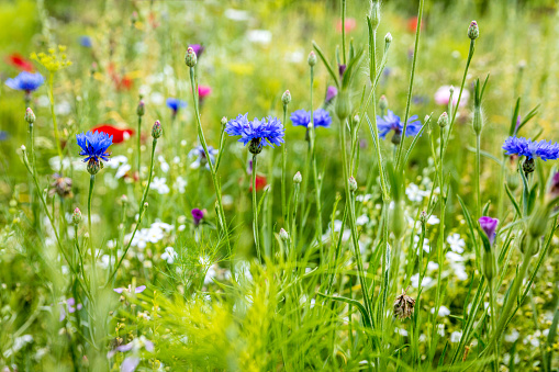 Wild flowers at the heyday, cornflowers, poppies and herbs in the background 1126705673