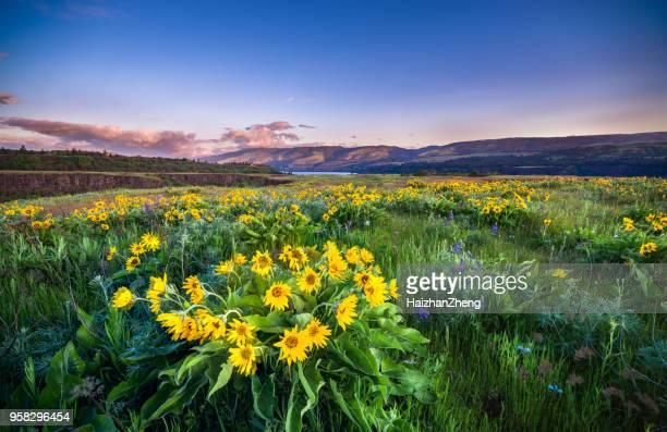 wild flowers blooming at rowena crest - mazzi fiori di campo foto e immagini stock