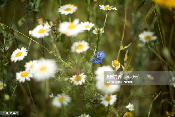 Wild flowers grow in a meadow in the grasslands of the National Memorial Arboretum on July 18, 2017 in Alrewas, Staffordshire. Wild meadows...