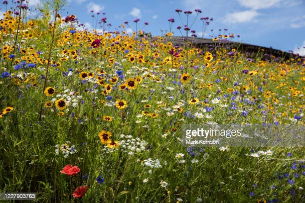 Wild flowers grow on a slope outside the Savill Building in Windsor Great Park on 3 August 2020 in Englefield Green, United Kingdom. The nearby...