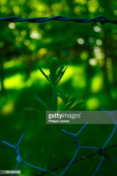 wild flowers growing against metallic fence - sarthe stock pictures, royalty-free photos & images