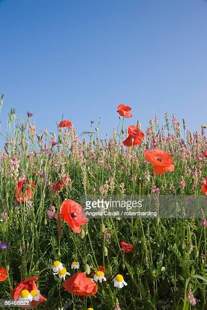 wild flowers, highland of castelluccio di norcia, norcia, umbria, italy, europe - ノルチャ ストックフォトと画像