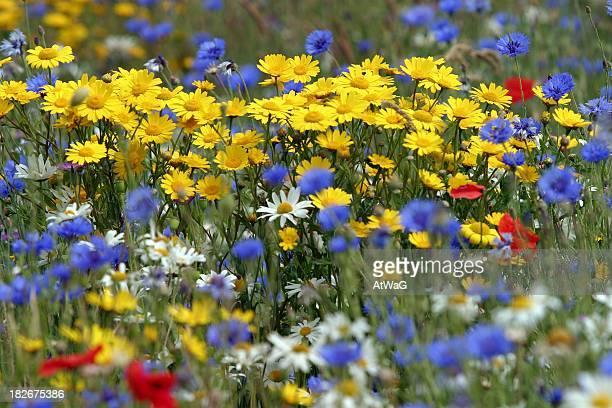 WIld flowers in a cornfield