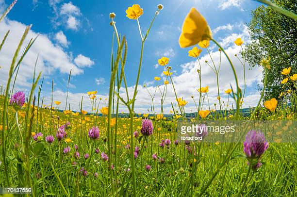 wild flowers in a meadow - meadow stock photos and pictures