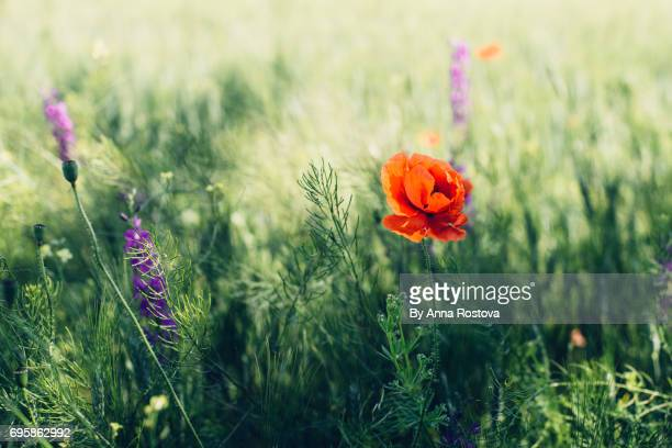 wild flowers in green wheat field - ivraie photos et images de collection