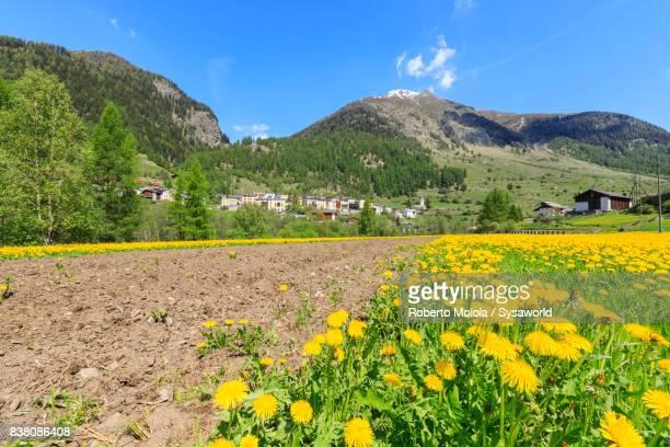 Wild flowers, Lavin, Switzerland
