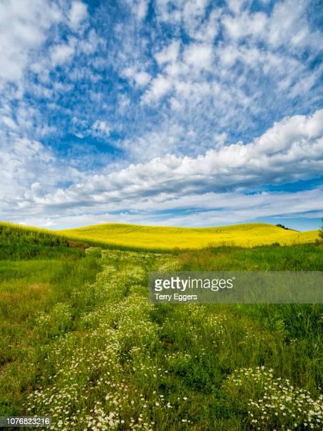 wild flowers leading to canola field with streaming clouds - crucíferas - fotografias e filmes do acervo