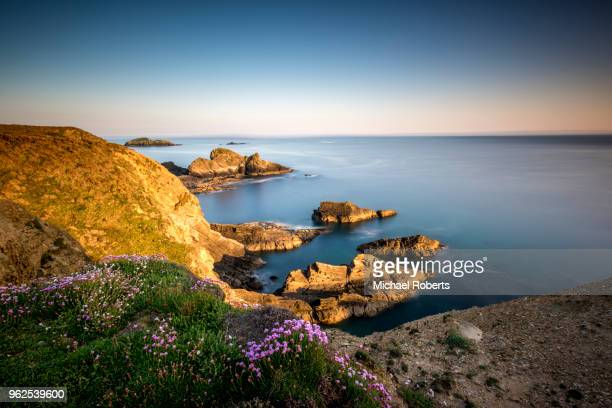 wild flowers on the cliffs of the pembrokeshire coast path at nine wells near st davids, wales - st davids stock pictures, royalty-free photos & images