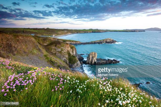 wild flowers on the cliffs of whitesands bay on the pembrokeshire coast path near st davids at sunset - wales stock pictures, royalty-free photos & images