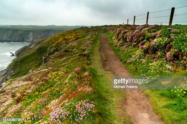 wild flowers on the pembrokeshire coast path near st davids, wales - st davids day stock pictures, royalty-free photos & images