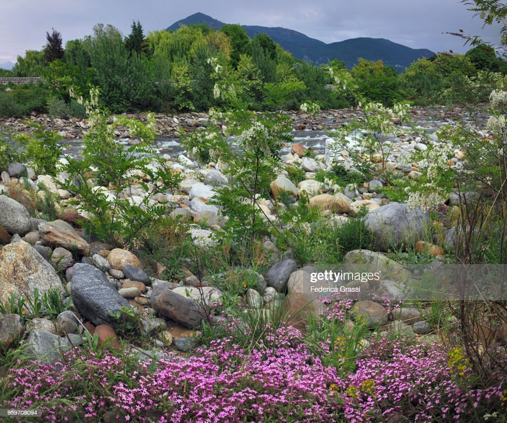 Wild Flowers On The Riverbank Of Torrente Cannobino : Stock-Foto