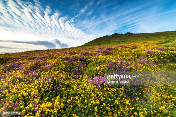 wild flowers (gorse and heather) on the slopes of mynydd carningli, by newport, pembrokeshire - season stock pictures, royalty-free photos & images