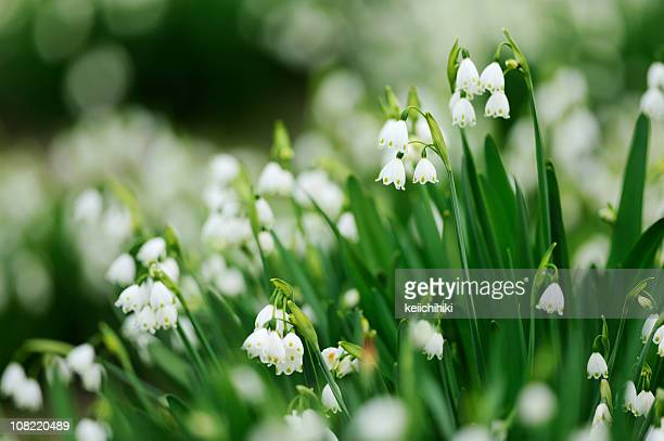 wild flowers - lily of the valley stock pictures, royalty-free photos & images