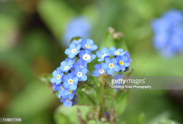 wild flowers ( forget-me-not ) - forget me not stock pictures, royalty-free photos & images
