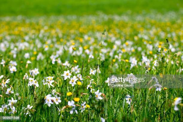 wild flowers - field of daffodils stock pictures, royalty-free photos & images