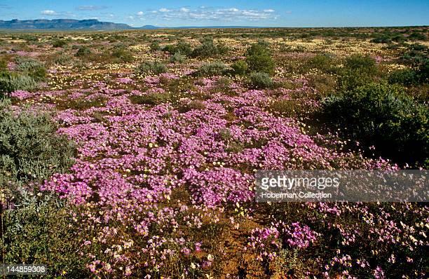 Wild flowers, West Coast, Western Cape