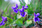 Wild forest violet in the spring forest. Blooming close-up. Nature background.