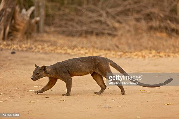wild fossa in kirindy forest - fossa stock photos and pictures