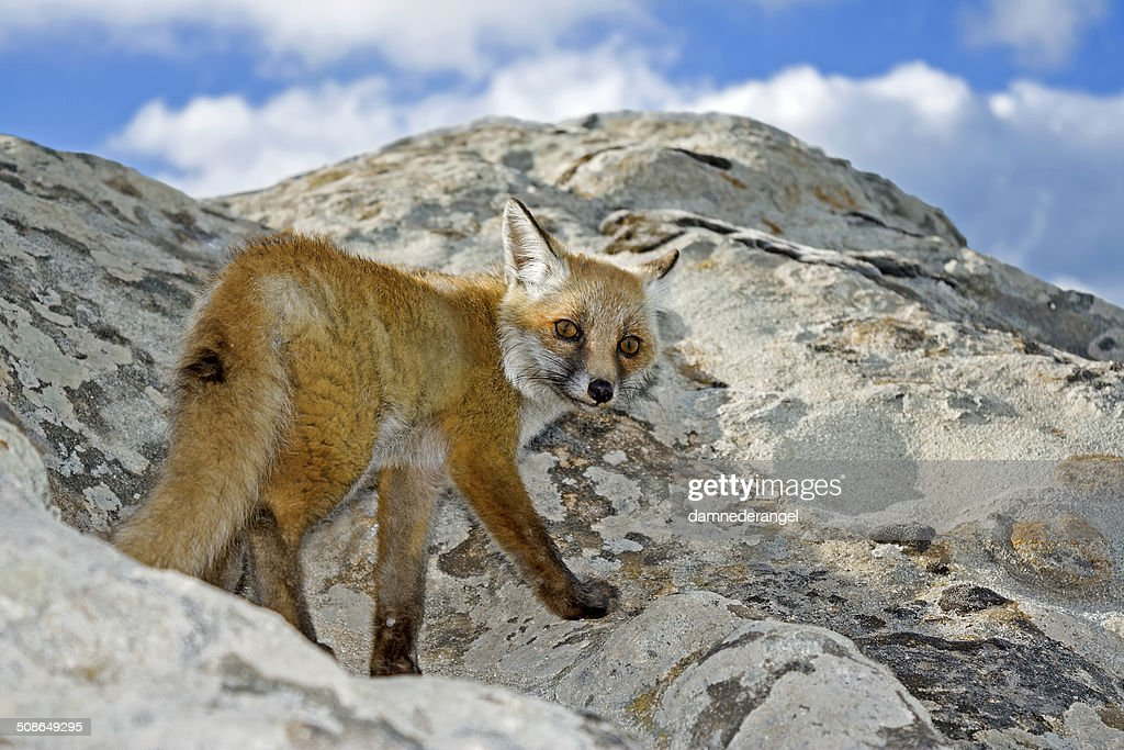 Wild fox on a peak rock look in camera : Stock Photo
