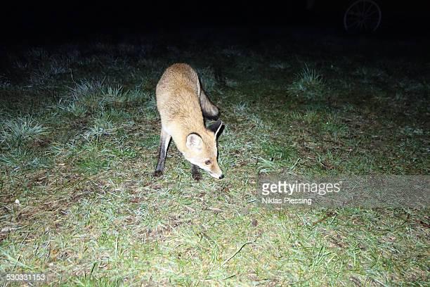 Wild fox on camping trip