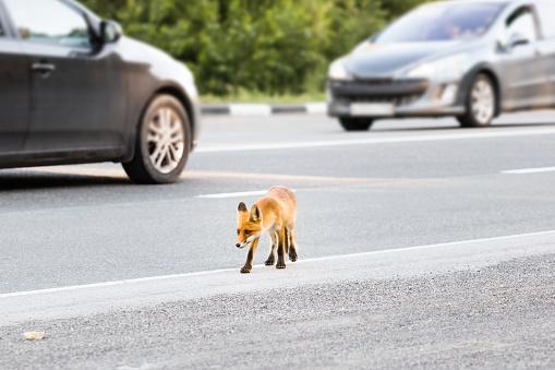Wild fox run across road. Fox cub 1162085433